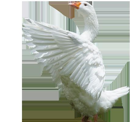 Geese taking flight